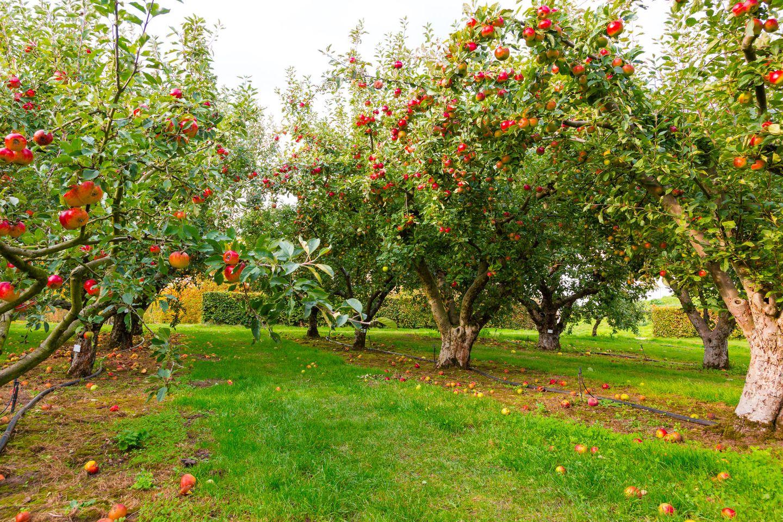 Der Apfel fällt nicht weit vom Stamm: Apfelbäume auf Wiese