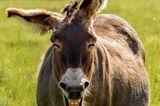 Haustier Fotowettbewerb: Esel lacht