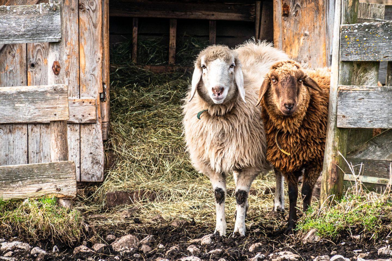 Alte Nutztierrassen: Schafe