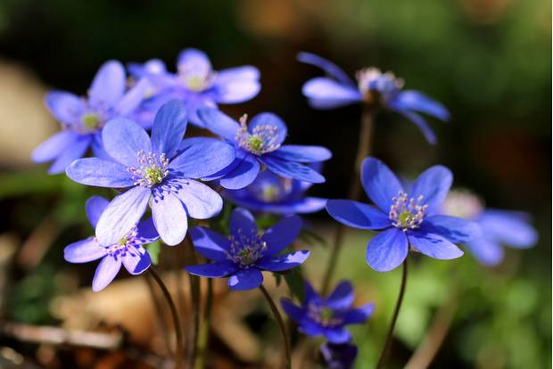 Pflanzen für den Schatten: Leberblümchen