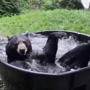 Schwarzbär planscht im Pool