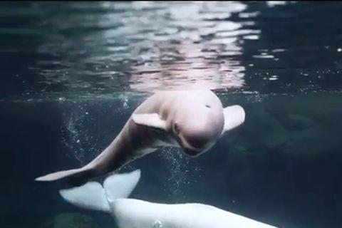 Walbaby im Georgia-Aquarium geboren