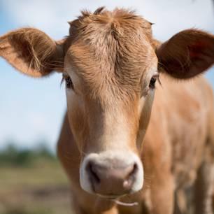 Kuh macht sich selbstständig