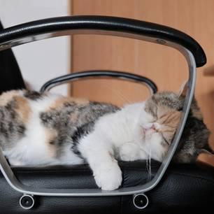 Game of Thrones mal anders: Dickköpfige Katze beansprucht neuen Stuhl für sich