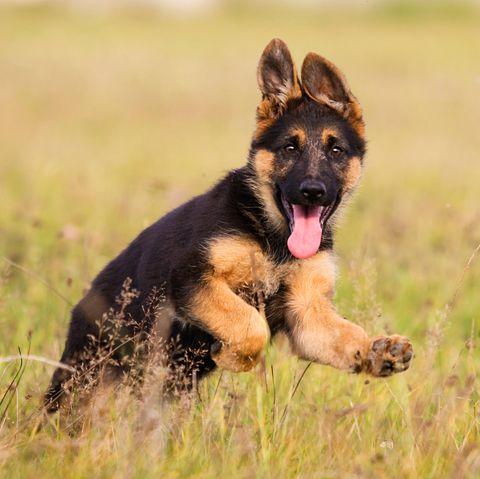 Schäferhund bleibt ein Leben lang Welpe
