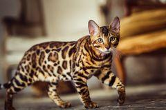 Die jüngste Katzenrasse der Welt: Bengalkatze