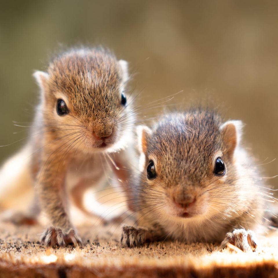 So niedlich klingen Eichhörnchen-Babys beim Futtern