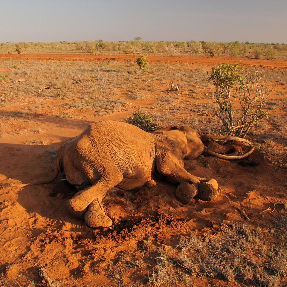 Elefantensterben: Toter Elefant