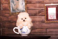 Teetassen-Hunde: Unglaublich süß - doch ihr Leben ist eine Qual