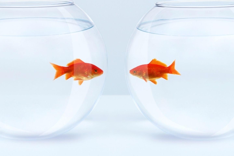 Beziehungskrise meistern: 2 Goldfische in 2 Gläsern