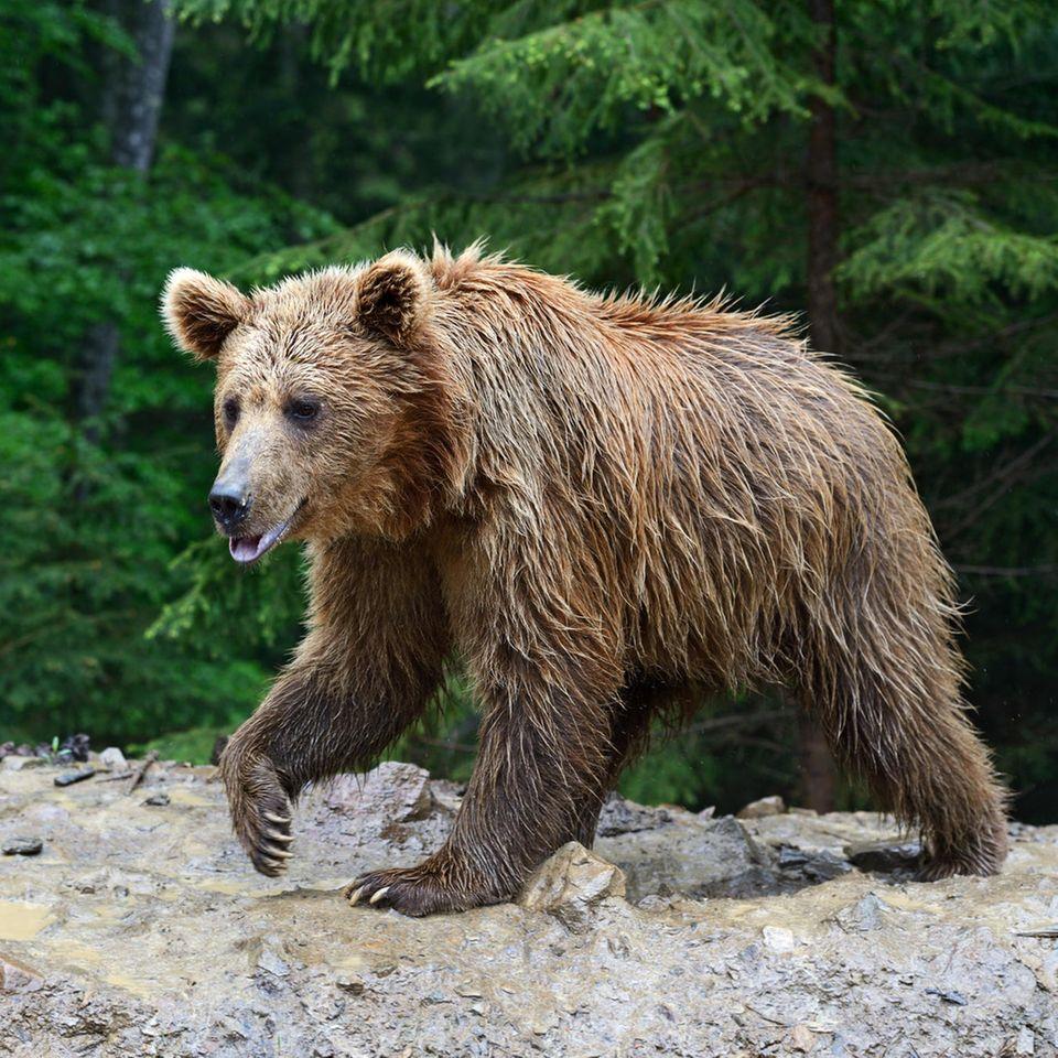 Familie rettet Bären vor dem Ertrinken