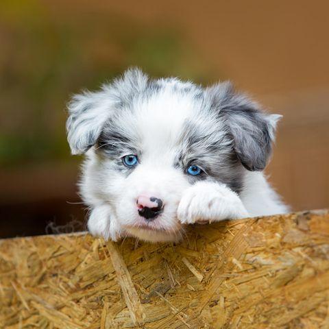 Diese Hunderassen erobern mit ihren blauen Augen euer Herz