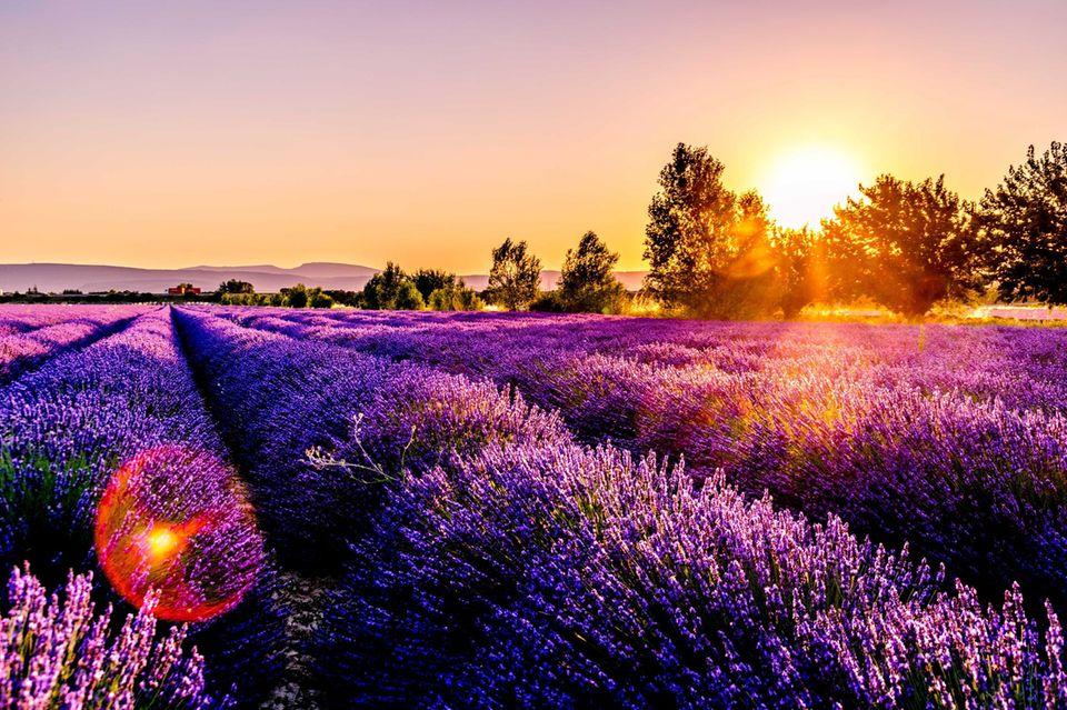 Lavendel Lüneburger Heide