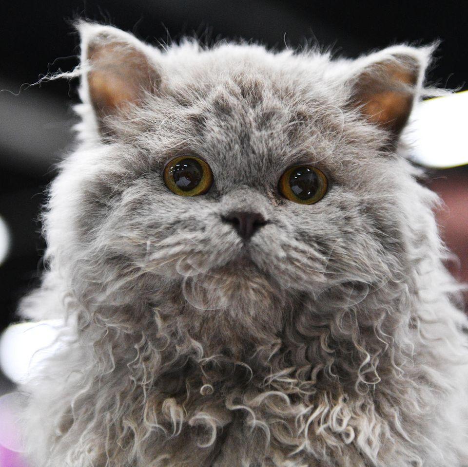 Diese Katze hat Locken