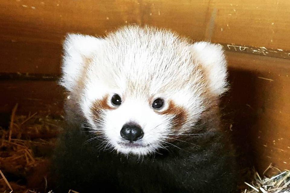Pandababy in Berlin geboren
