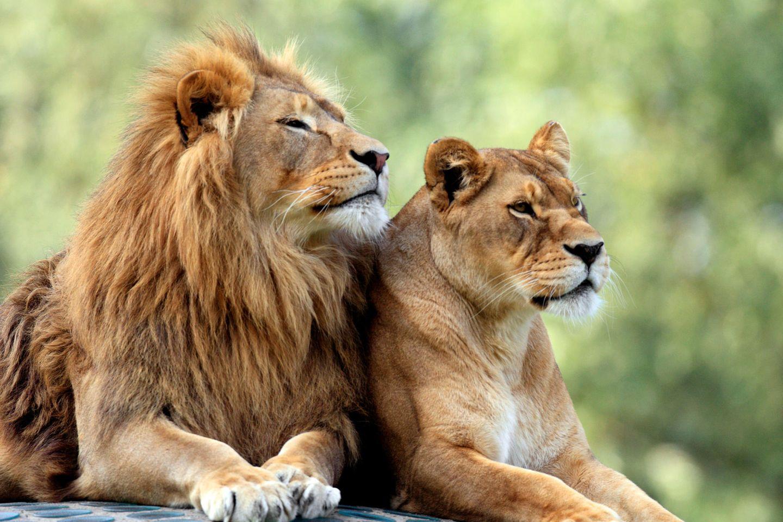 Löwen gemeinsam eingeschläfert