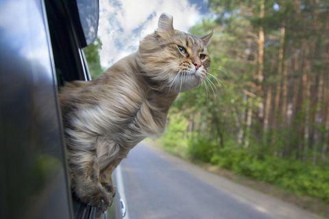 Freche Katze gönnt sich Sommerausflug