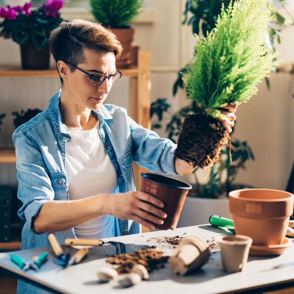 Dschungelchic: Frau topft Pflanze um