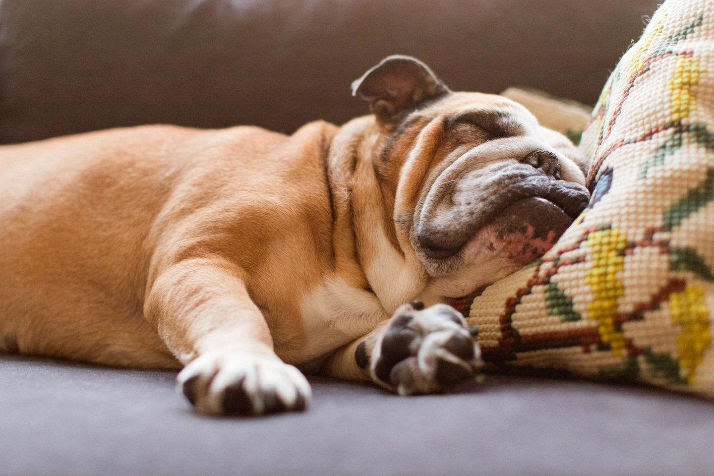 Faulenzen: Hund schläft auf der Couch