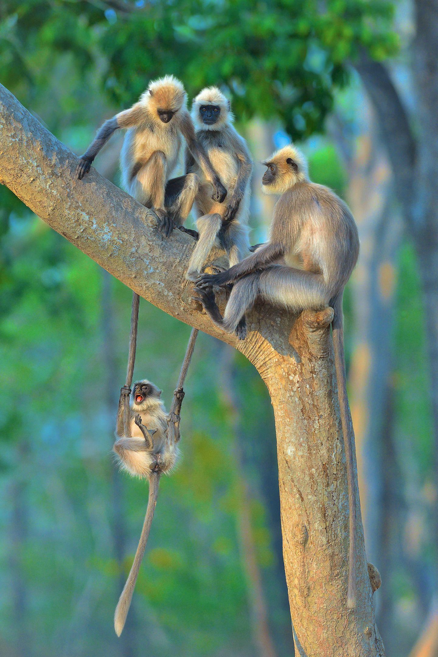 Comedy Wildlife Photo Awards 2020: Affen auf einem Baum
