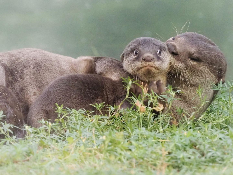 Comedy Wildlife Awards 2020: Otter