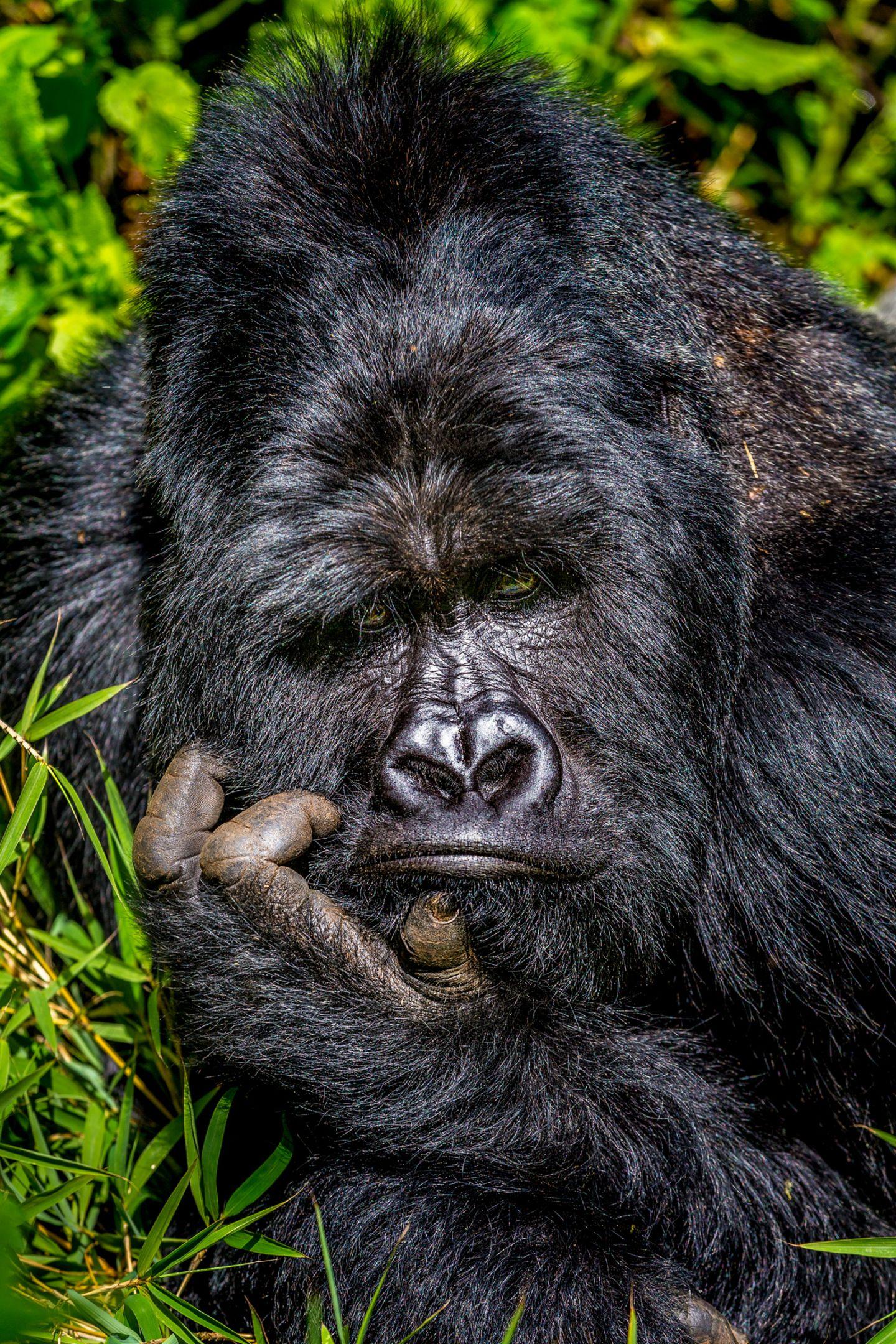 Comedy Wildlife Awards 2020: Gorilla