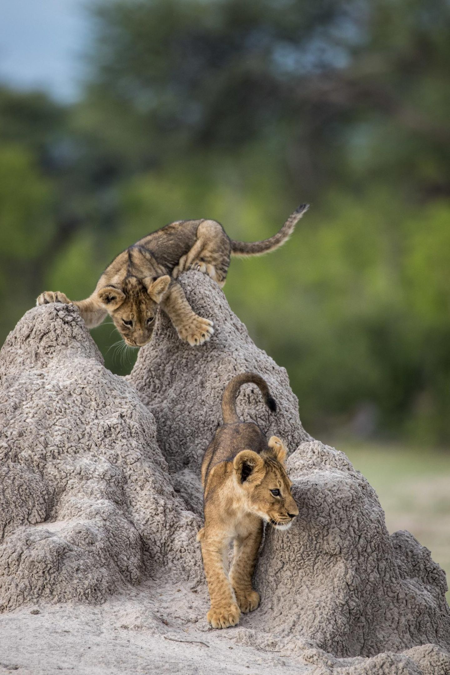 Comedy Wildlife Awards 2020: Löwenbabys