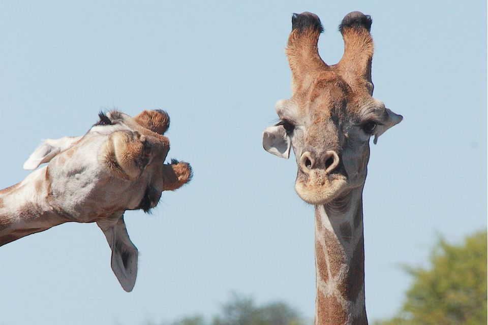 Comedy Wildlife Photo Awards 2020: Giraffen