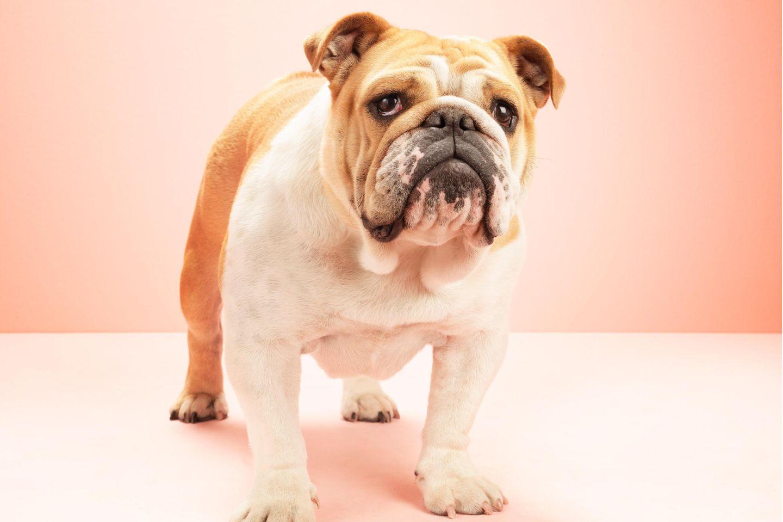 Französische Bulldogge vor rosa Hintergrund