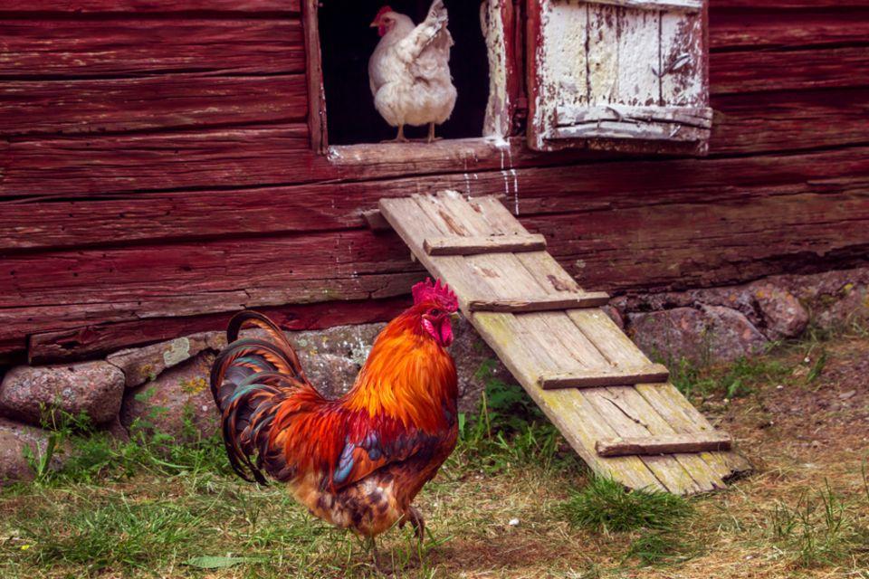 Hühner halten: Hahn vorm Stall