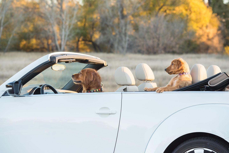 Haustier Fotowettbewerb: Hunde im Auto