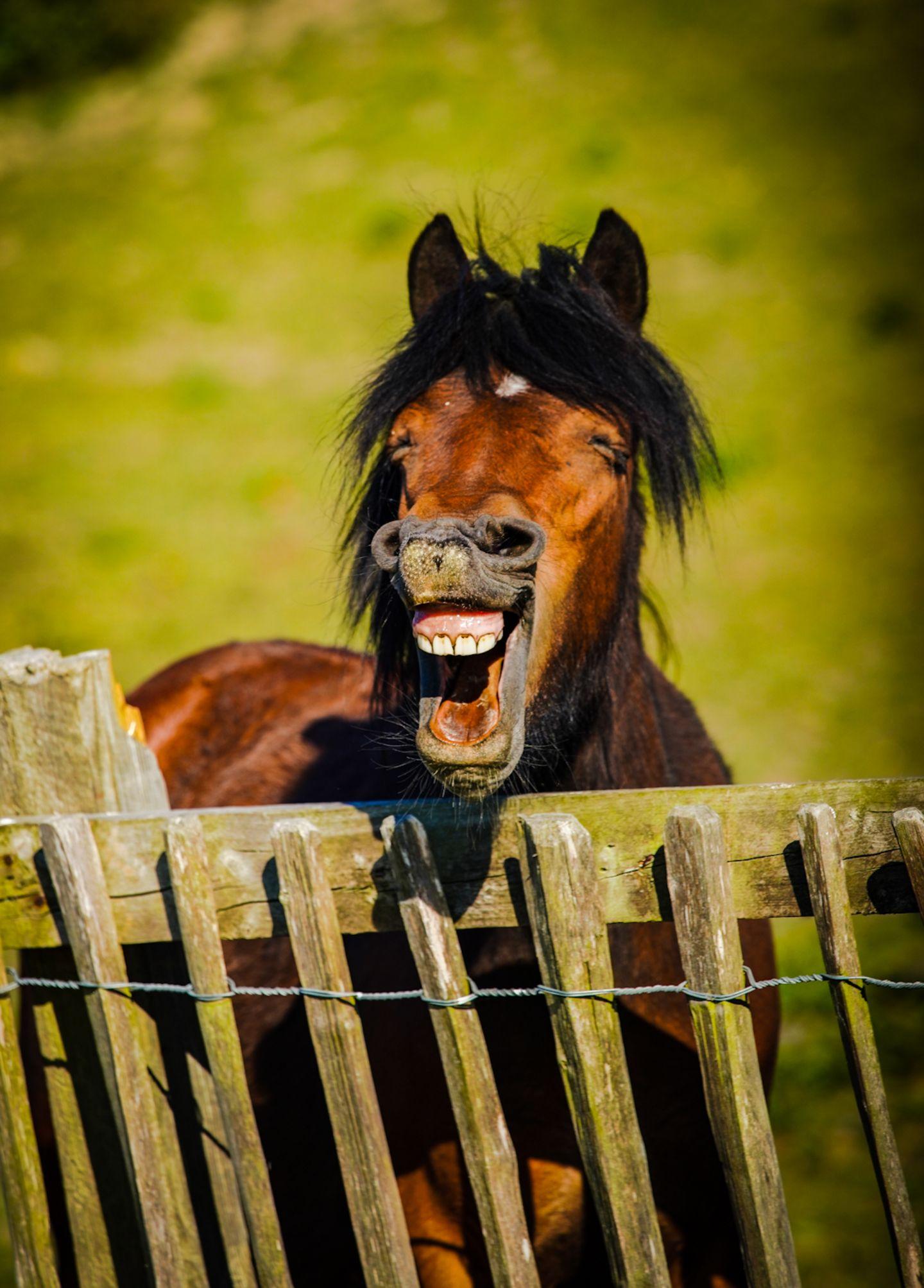 Haustier Fotowettbewerb: Pferd zeigt Zähne