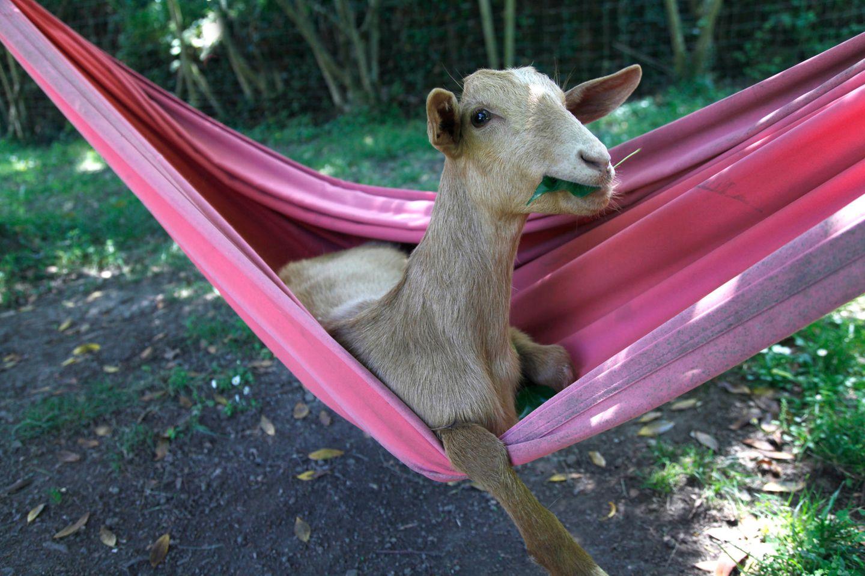 Haustier Fotowettbewerb: Ziege in Hängematte