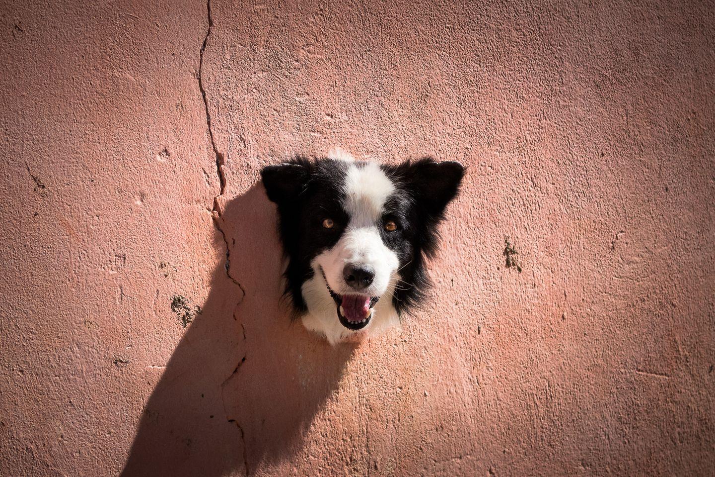 Haustier Fotowettbewerb: Hund guckt aus Wand