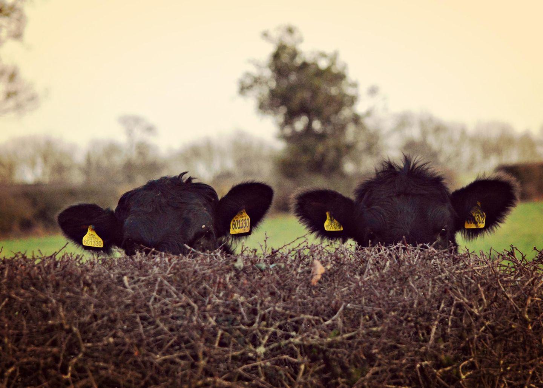 Haustier Fotowettbewerb: Zwei Kühe