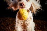 Haustier Fotowettbewerb: Pudel mit Ball