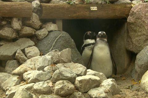Schwule Pinguin-Pärchen adoptieren fremde Eier