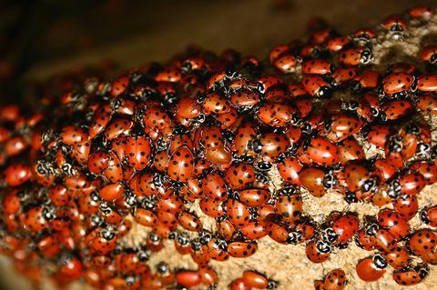 Warum sitzen so viele Marienkäfer auf deinem Haus?