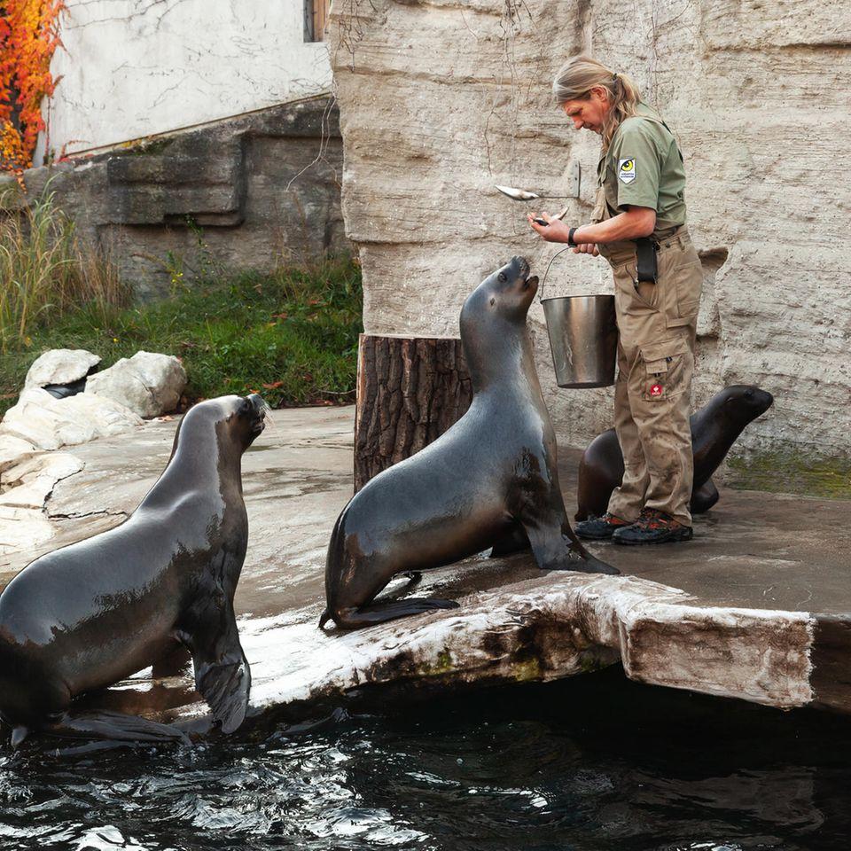 Tierpfleger: Fütterung von Seelöwen