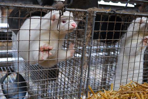Nerzfarmen werden seit Jahren von Tierschutzorganisationen kritisiert.