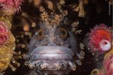 NHM People's Choice Award 2020: japanischer Schleimfisch