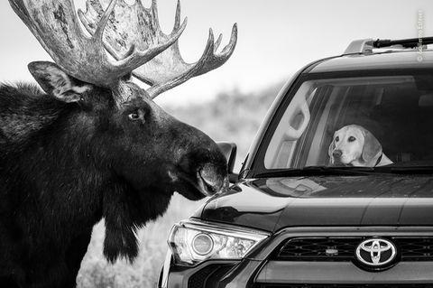 NHM People's Choice Award 2020: Elch vor Auto mit Hund