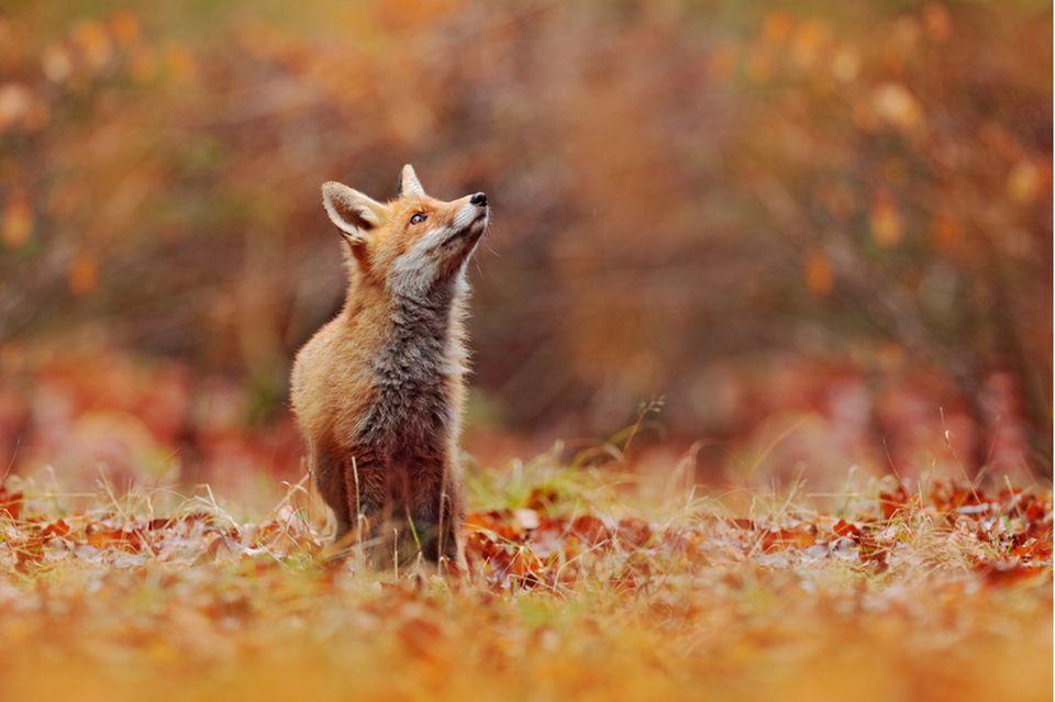 krafttier fuchs: Fuchs im Wald