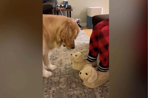 Hund hält Hausschuhe für Welpen