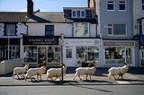 Bewegende Momente 2020: Ziegen auf der Strasse in Wales