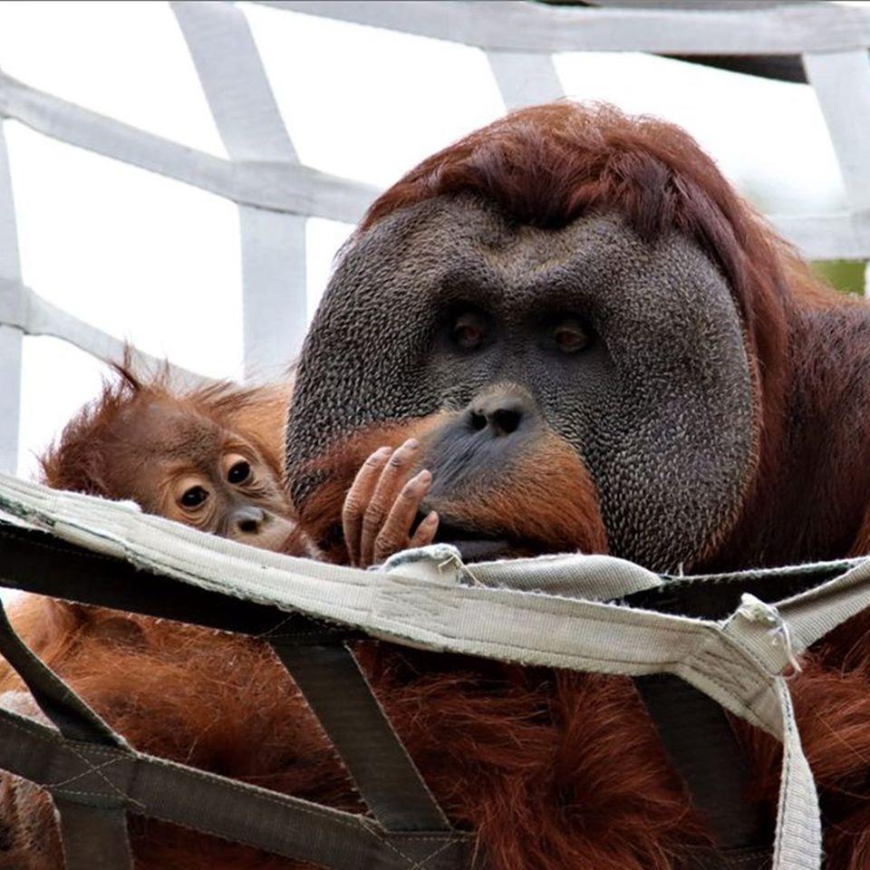 Orang-Utan-Vater kümmert sich um Baby