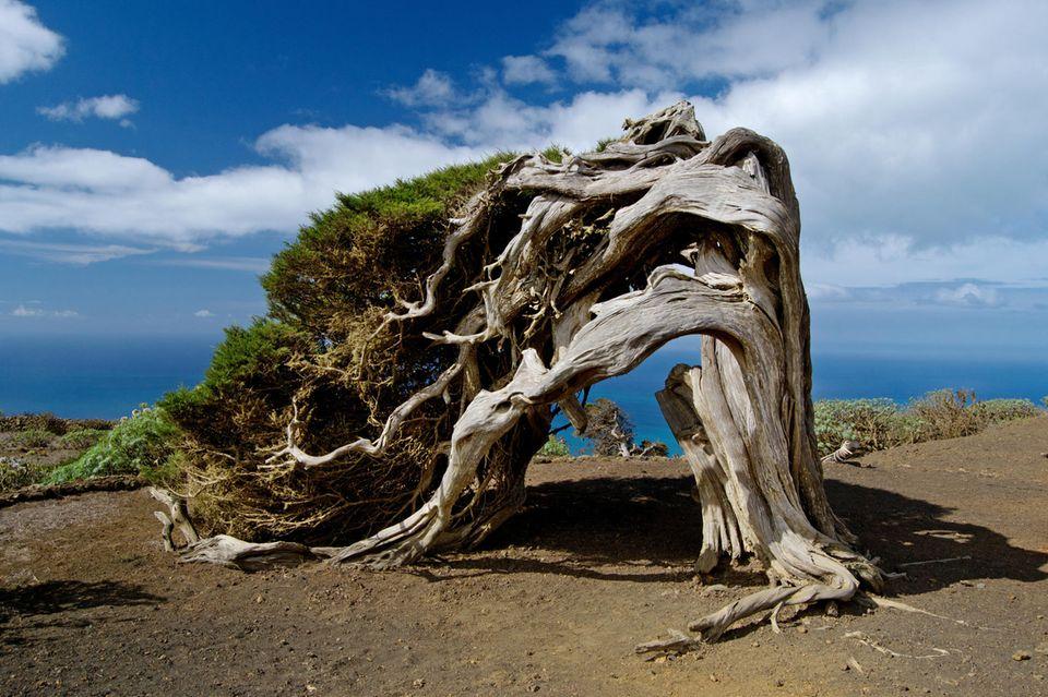 El Hierro: Wacholderbaum