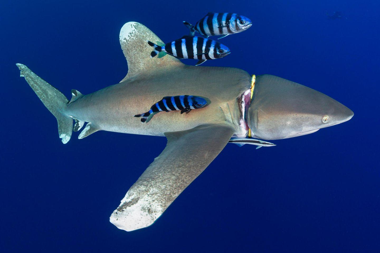 Ocean Photography Awards: Hai mit Fischen