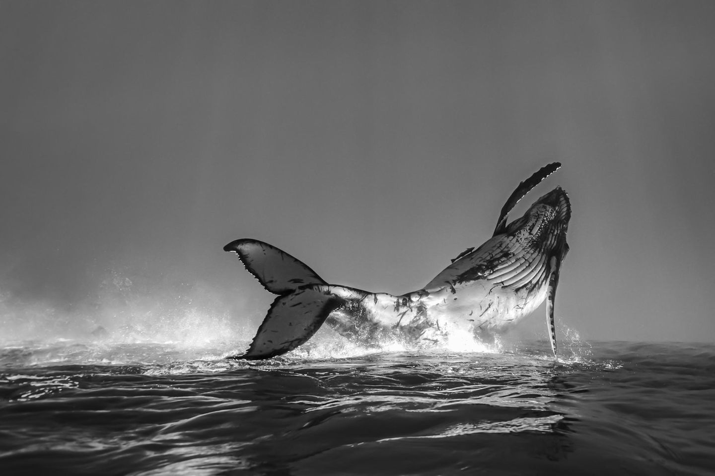 Ocean Photograpy Awards: Buckelwal
