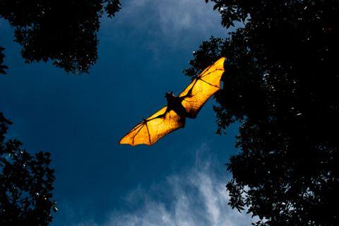 Corona aktuell: Fledermaus